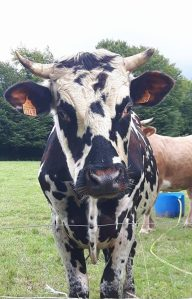 cropped-cow.jpg